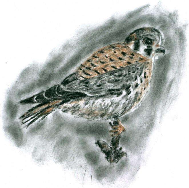 Kestrel in Charcoal, 8.8.15